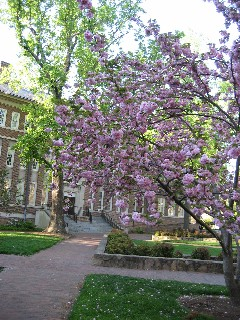 A tree blooms in front of Murphey Hall during a typical spring.